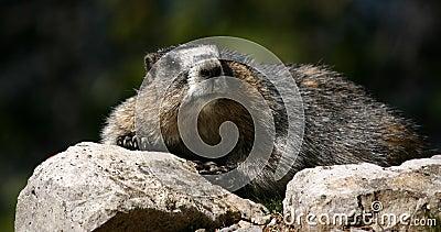 Resting marmot