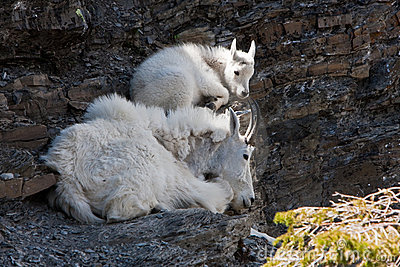 Resting Mountain Goats