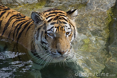 Resting Tiger (Panthera tigris altaica)