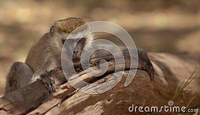 A resting Vervet Monkey