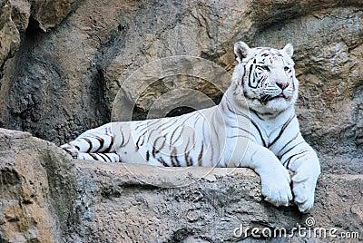 I životinje odmaraju Resting-white-tiger-thumb6082926