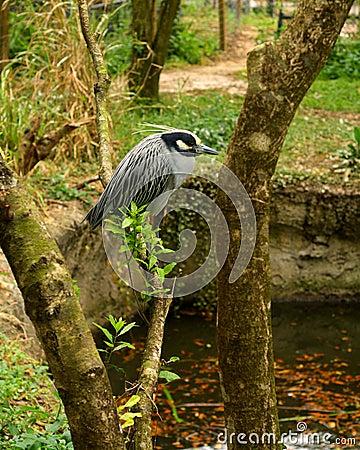 Resting Yellow Crowned Night Heron
