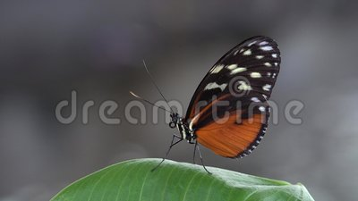 Resto hermoso de la mariposa en la hoja verde, fondo de la falta de definición