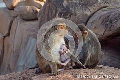 Resusaap Macaque