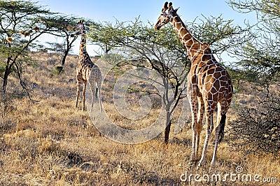 Reticulated Giraffes, Kenya, Africa