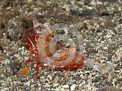 Reticulated Hinge-Beak Shrimp