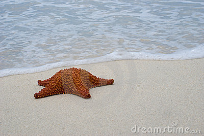 Reticulated Seastar (Starfish) on beach