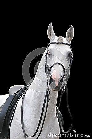 Retrato árabe del caballo