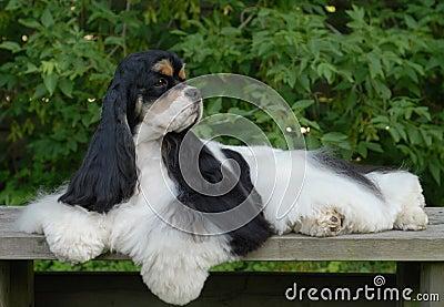 Retrato americano del perro de aguas de cocker