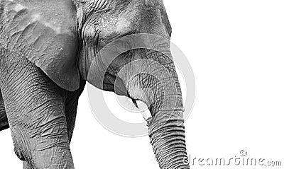 Retrato blanco y negro de gran alcance del elefante