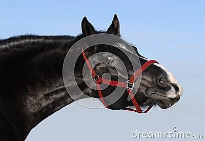 Retrato da égua preta