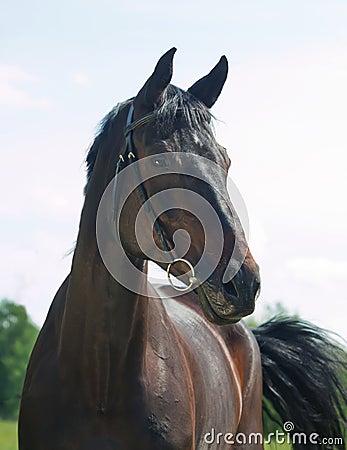Retrato da égua preta bonita