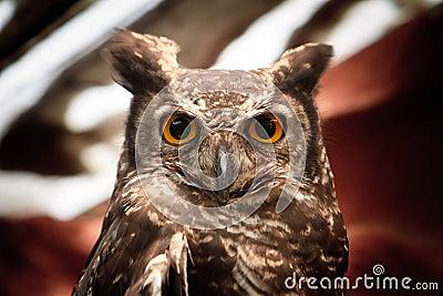 Retrato da coruja que olha fixamente na câmera