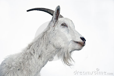 Retrato de la cabra en un fondo blanco