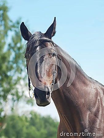 Retrato de la yegua negra hermosa