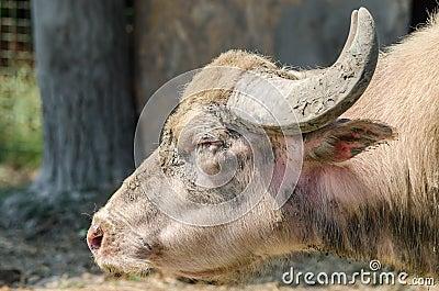 Retrato de los bóvidos del Bubalus