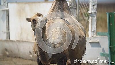 Retrato de um camelo em pé filme