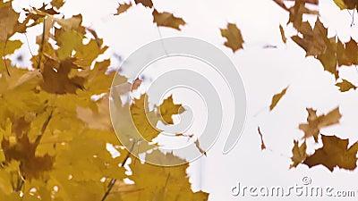 Retrato de um homem atraente joga folhas amarelas no outono acima da cabeça no parque Emoções video estoque