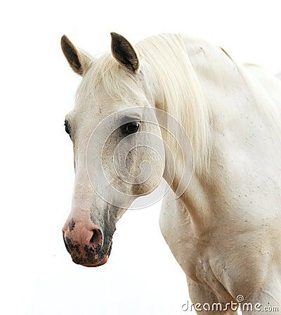 Retrato de un caballo blanco