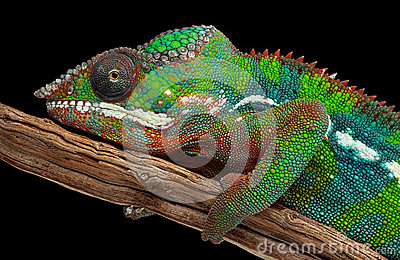 Retrato de un camaleón de la pantera