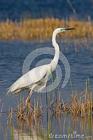 Retrato de un gran egret blanco.