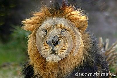 Retrato de un león masculino (Panthera Leo)