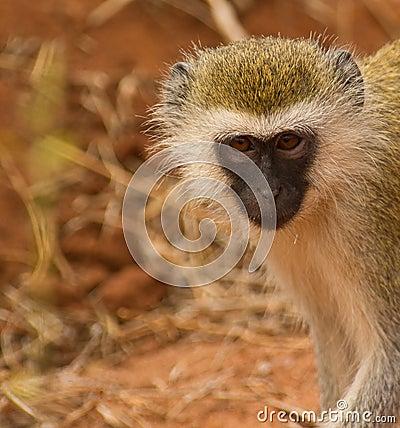 Retrato de un mono de vervet Black-faced