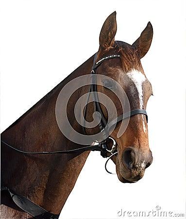 Retrato del caballo de carreras