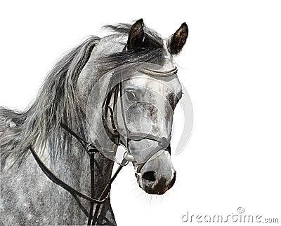 Retrato del caballo árabe dapple-gris