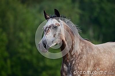 Retrato del caballo árabe rojo-gris en el movimiento