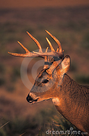 Retrato del dólar del Whitetail