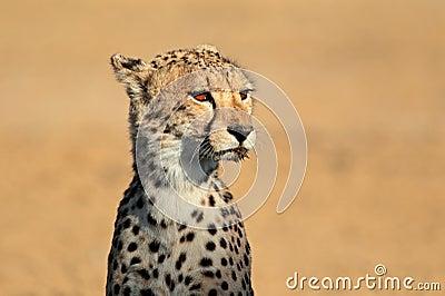 Retrato del guepardo
