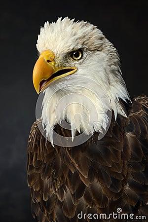 Retrato del águila calva