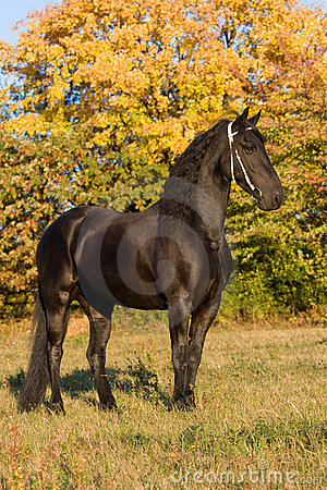 Retrato del otoño de la yegua del frisian