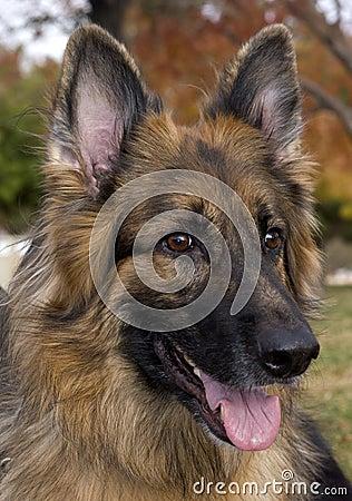 Retrato del pastor alemán