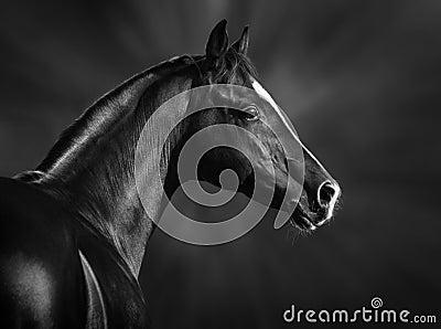 Retrato do cavalo árabe preto