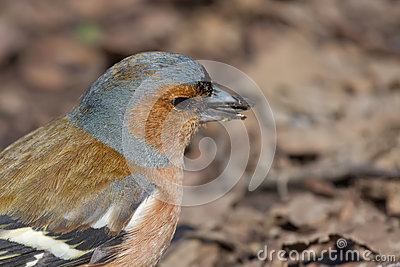 Retrato do Chaffinch masculino