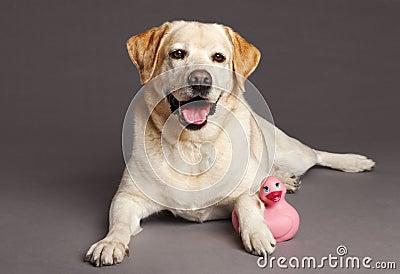 Retrato do estúdio do cão de Labrador com pato do brinquedo