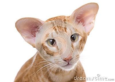 Retrato do gato, shorthair exótico