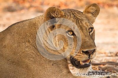 Retrato do leão