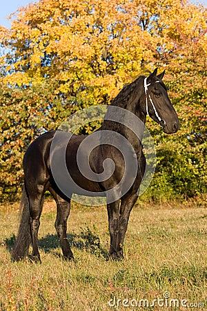 Retrato do outono da égua do frisian