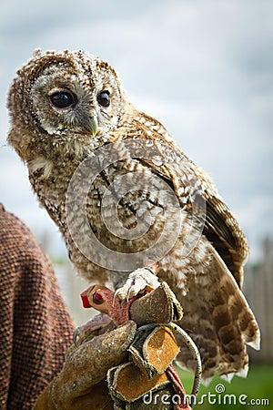 Retrato joven del águila-buho