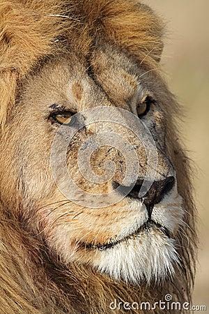 Retrato masculino del primer del león, Serengeti, Tanzania