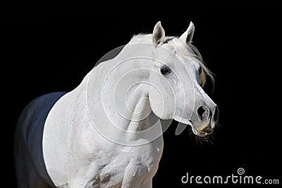 Retrato árabe blanco del semental del caballo