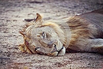 Retrato salvaje del león