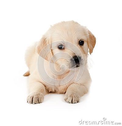 Free Retriever Puppy Royalty Free Stock Photography - 17280637