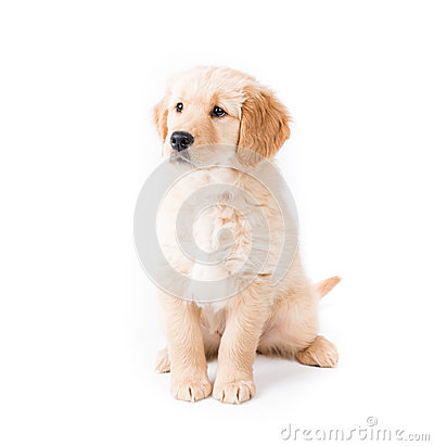Retriever Puppy Sitting Looking Left