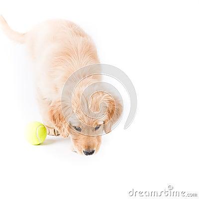 Retriever Puppy Sniffing