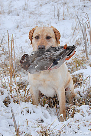Retrieving a duck