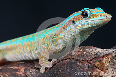 Reunion island day gecko